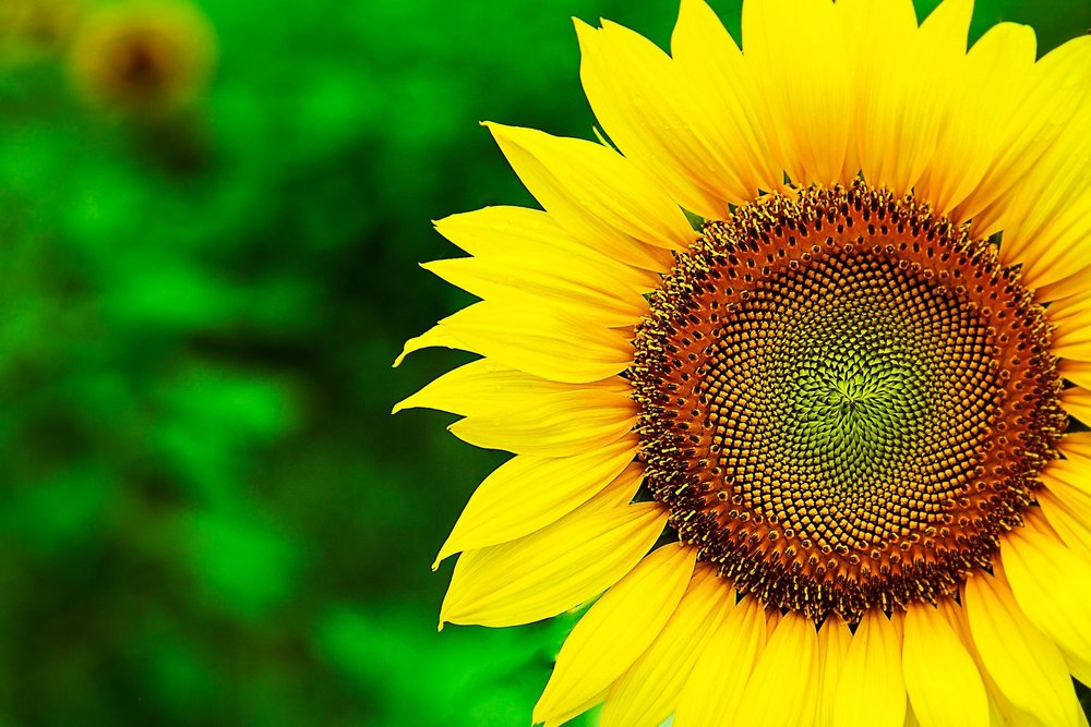2048x1365-1867638-sunflower__10.jpg