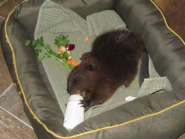 bottle beaver NWRF.jpg