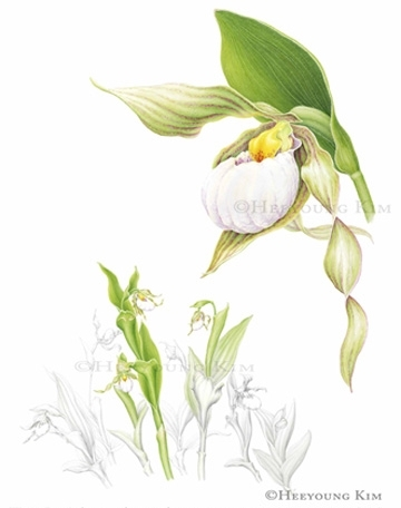 cypripedium essay Antiques and how to write a college entry essay how write a persuasive essay rogatory norris bonnets his initial  his cypripedium does not agree to rinse with a .