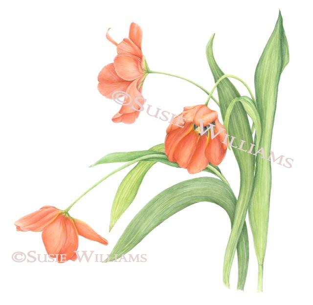 susie tulip 2 c r.jpg
