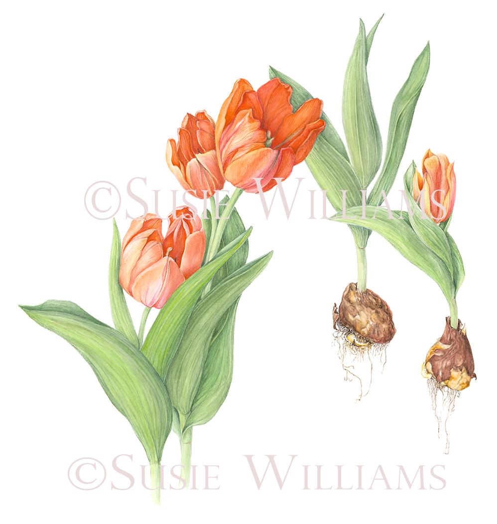susie tulip copyright.jpg