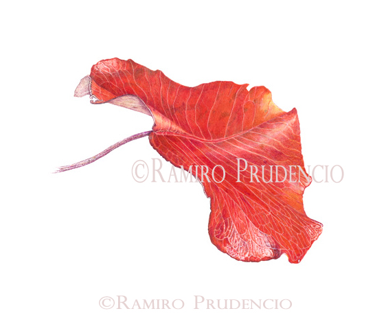 ramiro red leaf c r.jpg