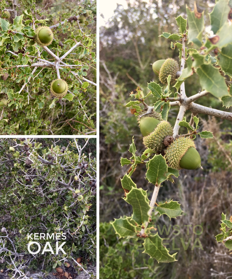 Kermes Oak (Quercus coccifera) is a favourite food of the cochineal beetle which was/is a source of Crimson dye or Kermes Carmine.