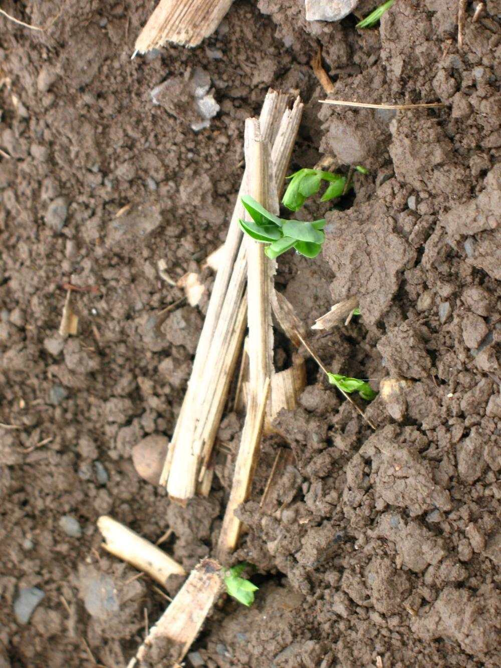 Germinating-Peas.jpg