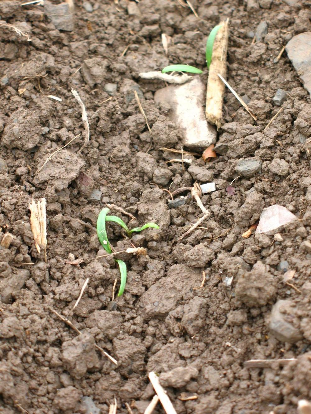 Germinating-Spinach.jpg