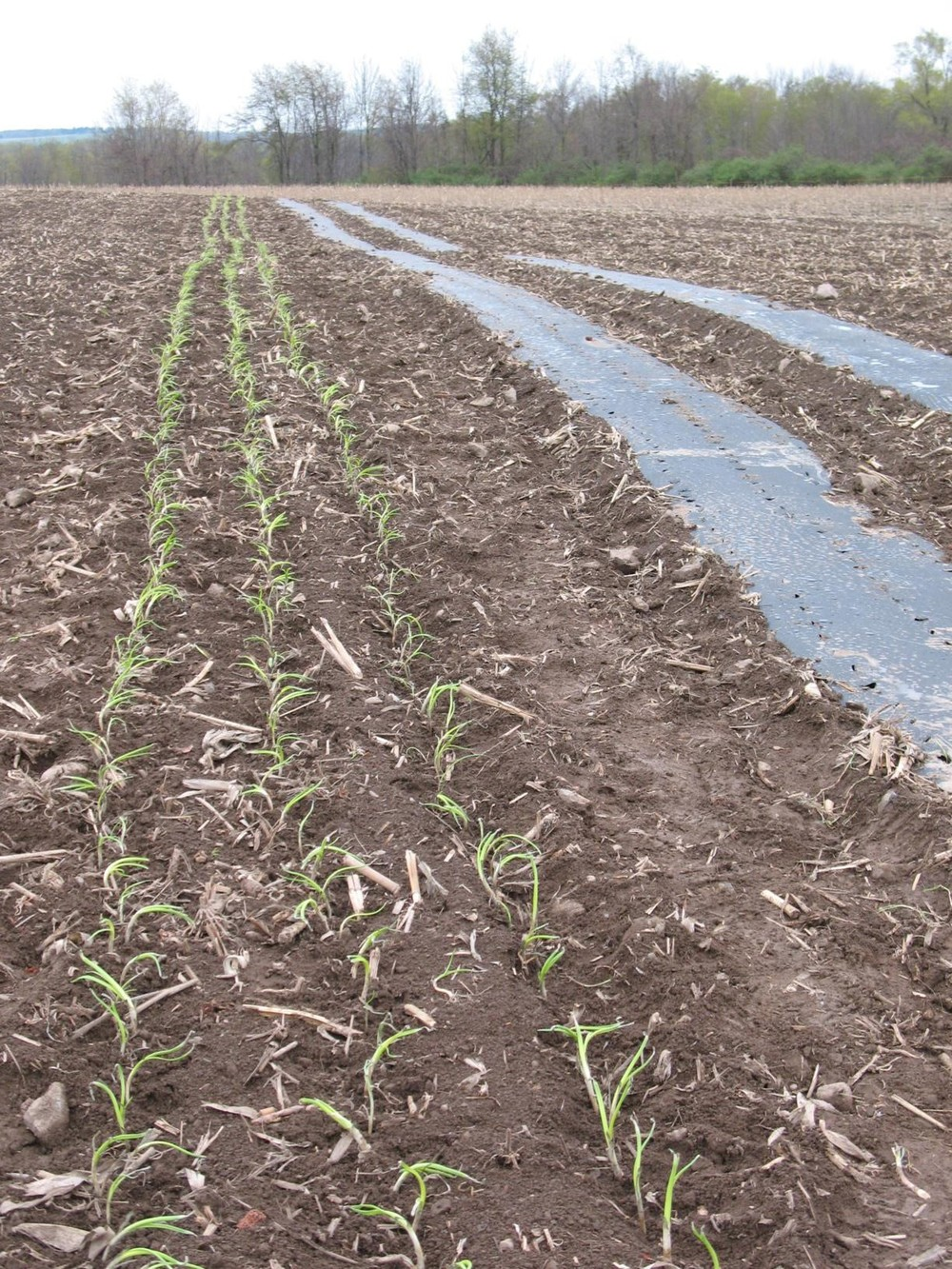Onion-Planting-e1335147065677.jpg