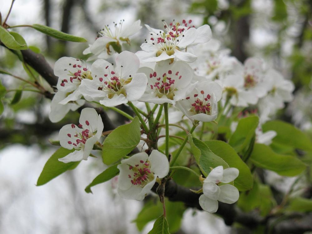 Pear-Blossoms.jpg