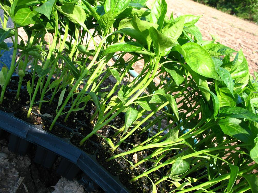Pre-planting-peppers_1632x1224.jpg