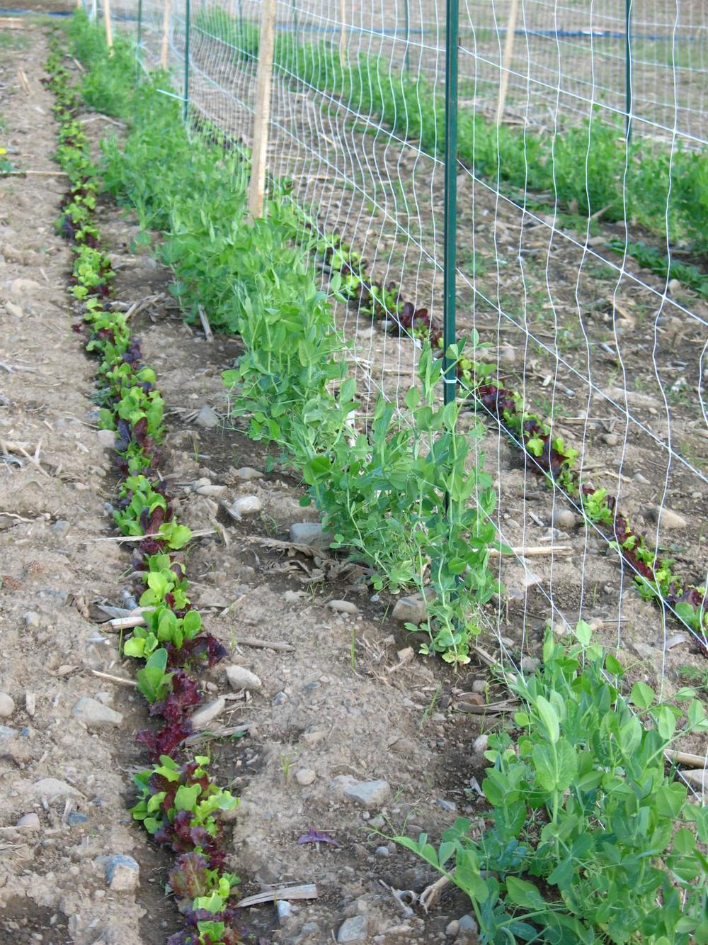 Market-lettuce_1224x1632.jpg