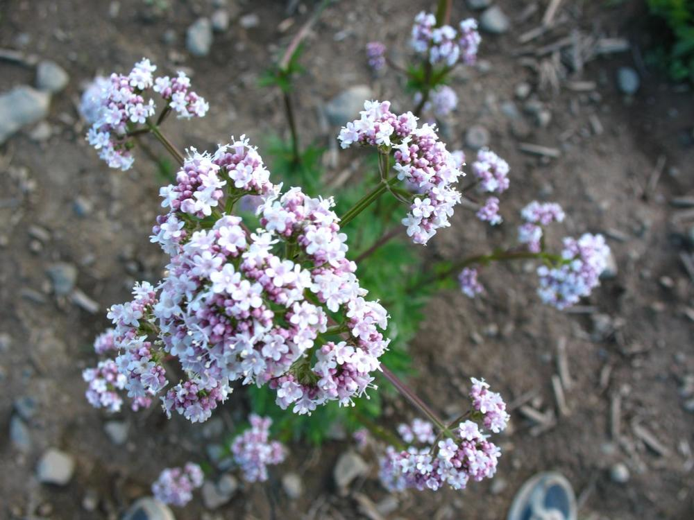 Valerian-flowers_1632x1224.jpg