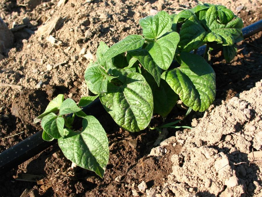 Drip-on-beans_3264x2448-e1425746971855.jpg