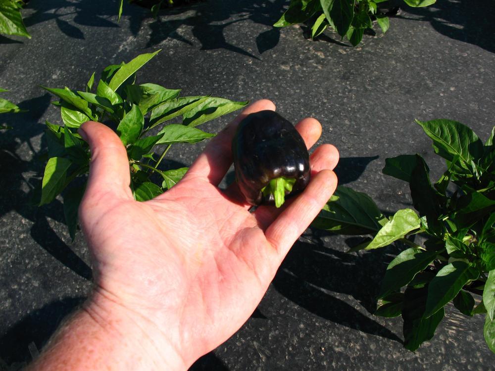 Pulling-premie-peppers_3264x2448.jpg