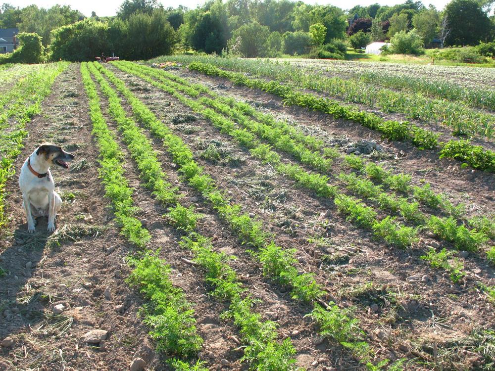 Carrot-beds_1632x1224.jpg