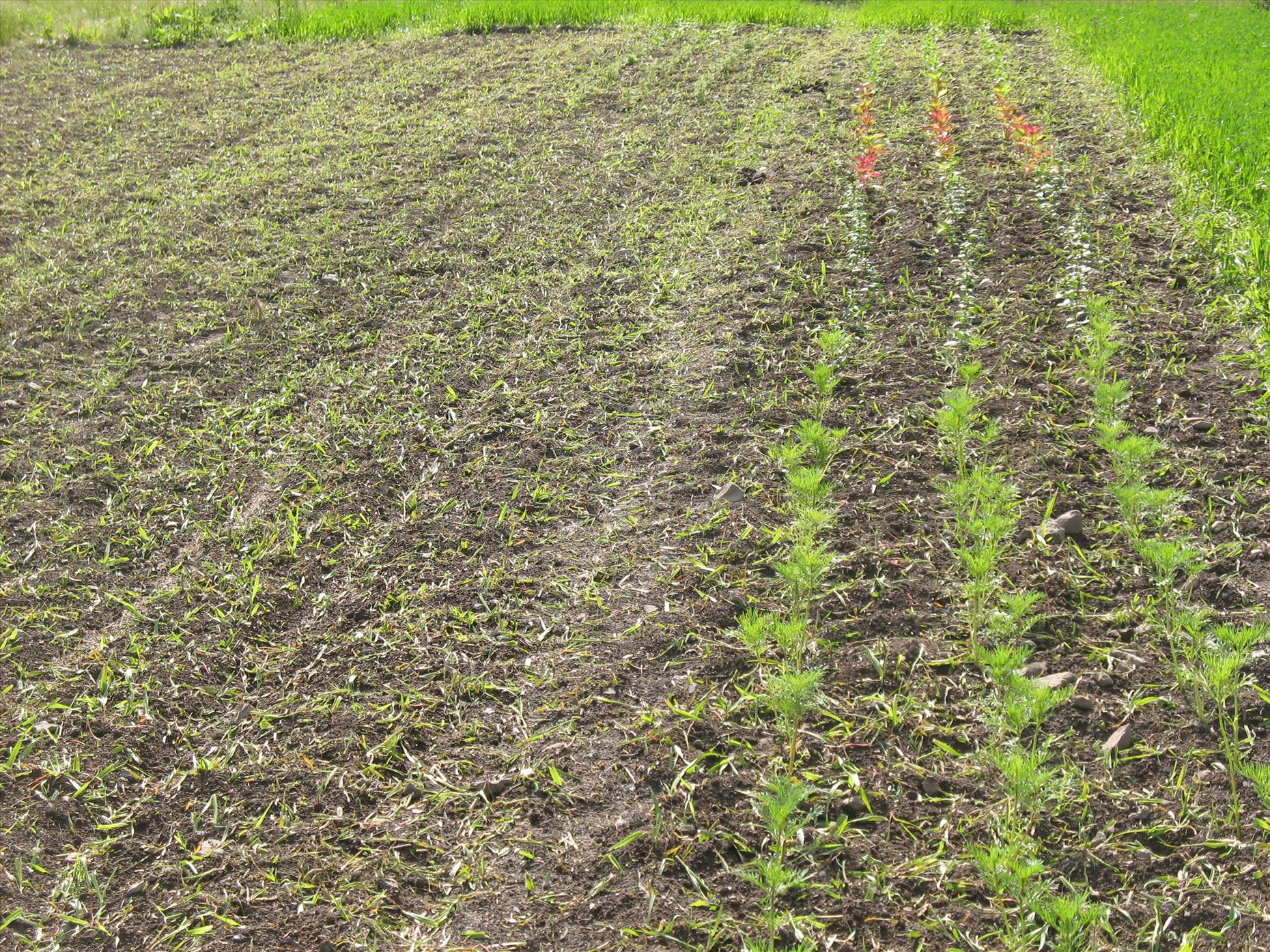 One of the rougher areas tilled up for flowers--the green is just oats, which should break down quickly (we hope!).
