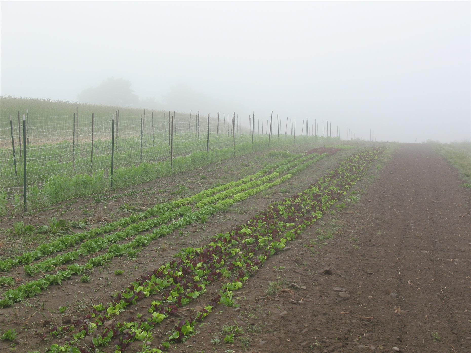 Peas, lettuce, and spinach in the mist!