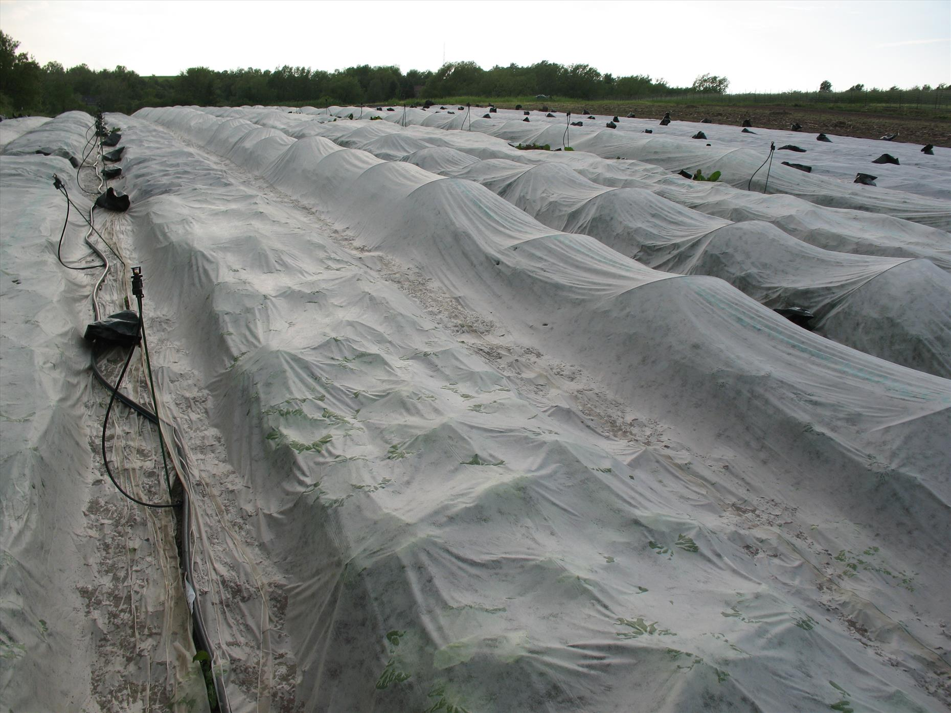 Row covers in action (here they cover our broccoli family crops--mostly for pest control from our nemesis, the flea beetle).