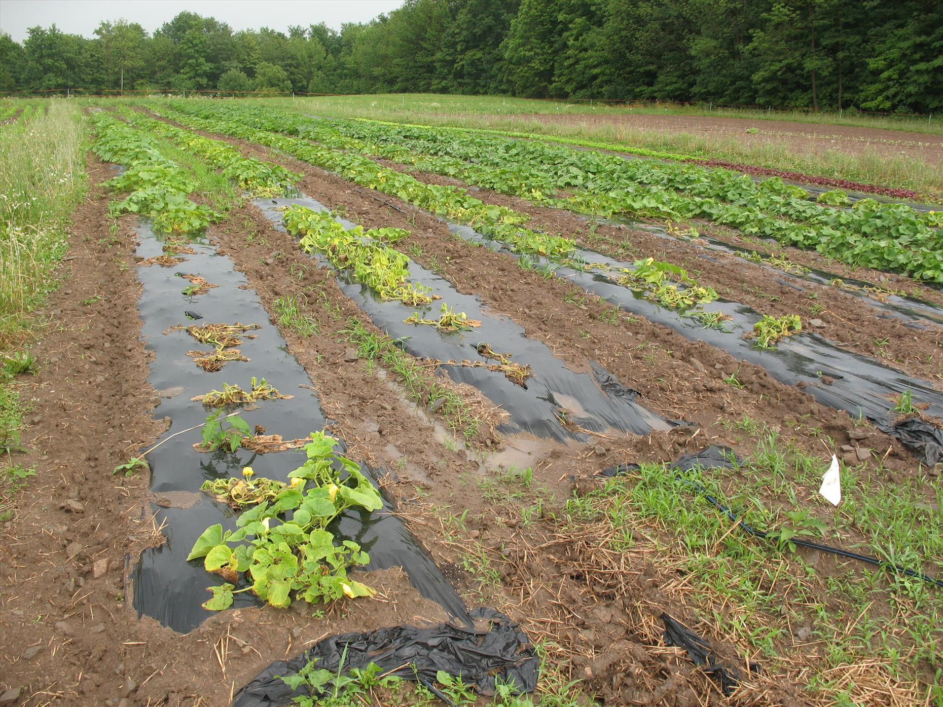 Poor winter squash... this section flooded and spread some disease to these plants (causing them to die)