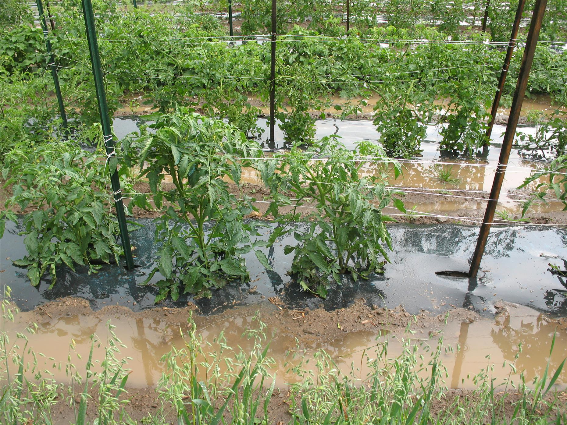 Tomato flooding... and this was one of the less bad days of rain!  These plants look great now, by the way!