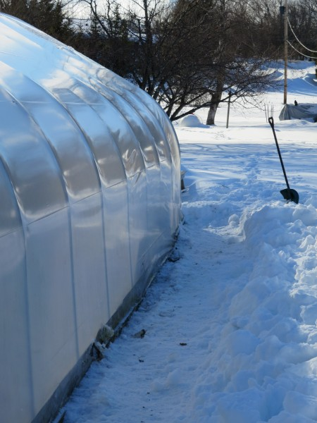 Shoveling the small greenhouse...