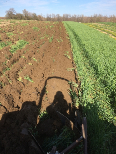 Farmer self portrait, plowing under the winter cover crops that protected the soil from erosion.