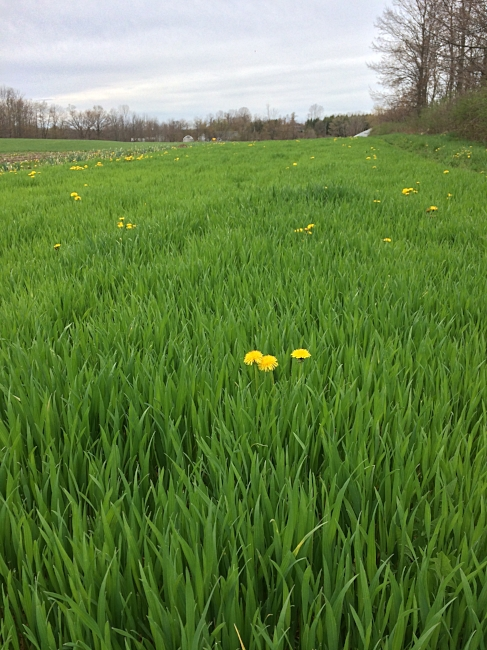 Winter wheat and dandelions--building up the soil for future crops!