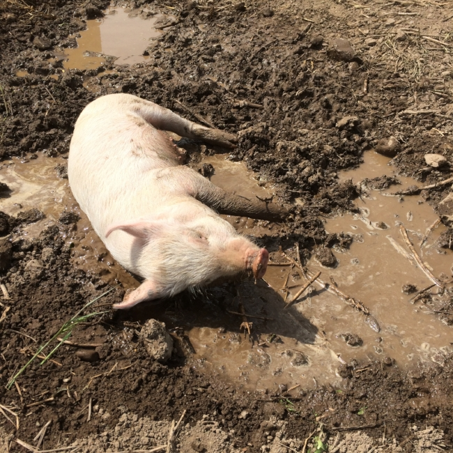 Piggy's first mud wallow! Pigs can't sweat so they rely on us making mud for them to stay nice and cool!