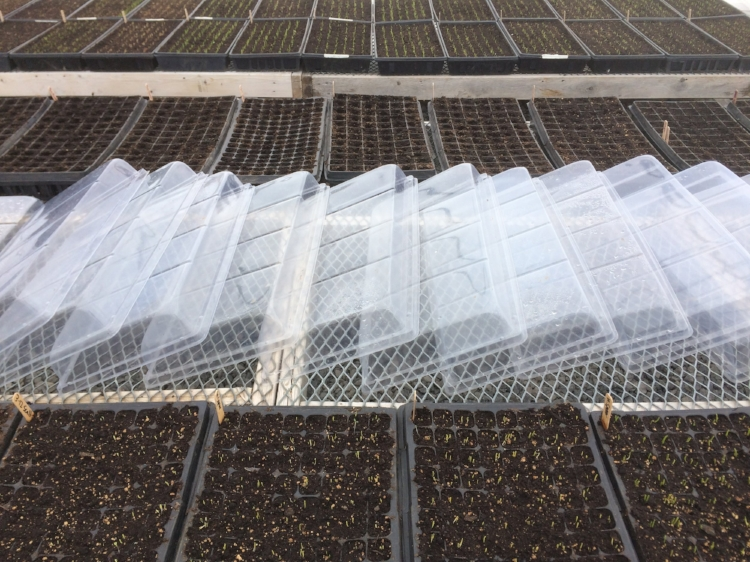 Heat and moisture trapping germination domes taken off for the day (so we don't cook the plants). Make sure you don't stack the domes in a pile in the sun or they will fuse together!