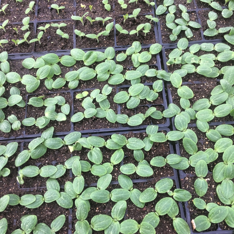One week old squash in late May, halfway ready to transplant!