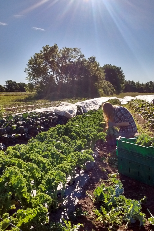 Emily getting started on the first tote of 200 hundred kale and chard bunches!