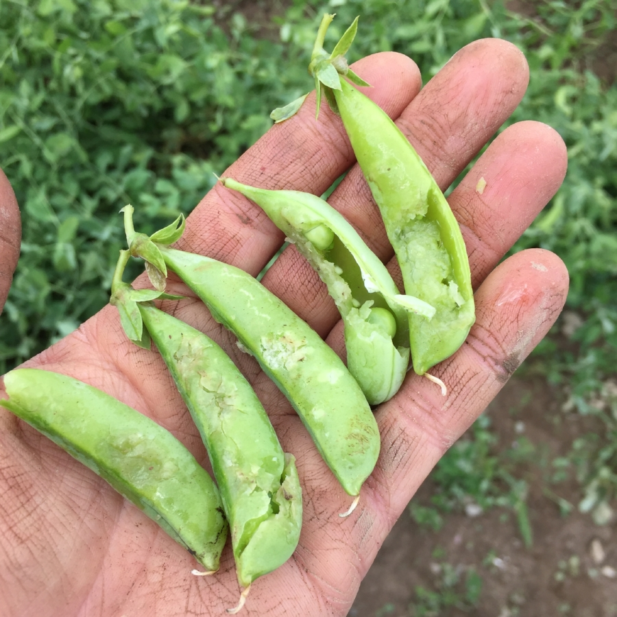 All the peas on the vine got hit, and we lost about 50% of the plants. The survivors look to be producing okay but yields are obviously way down.