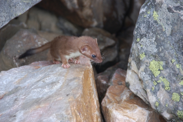 Weasel emerging from the rocks.