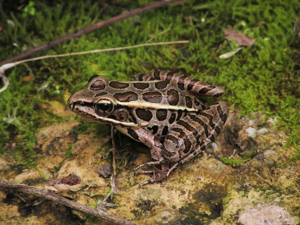 Pickerel Frog ( Lithobates palustris )
