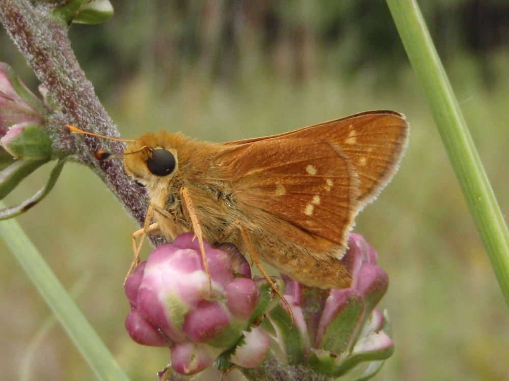 Leonard's Skipper ( Hesperia leonardus )
