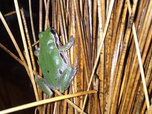 Ornate Chorus Frog ( Pseudacris ornata ).