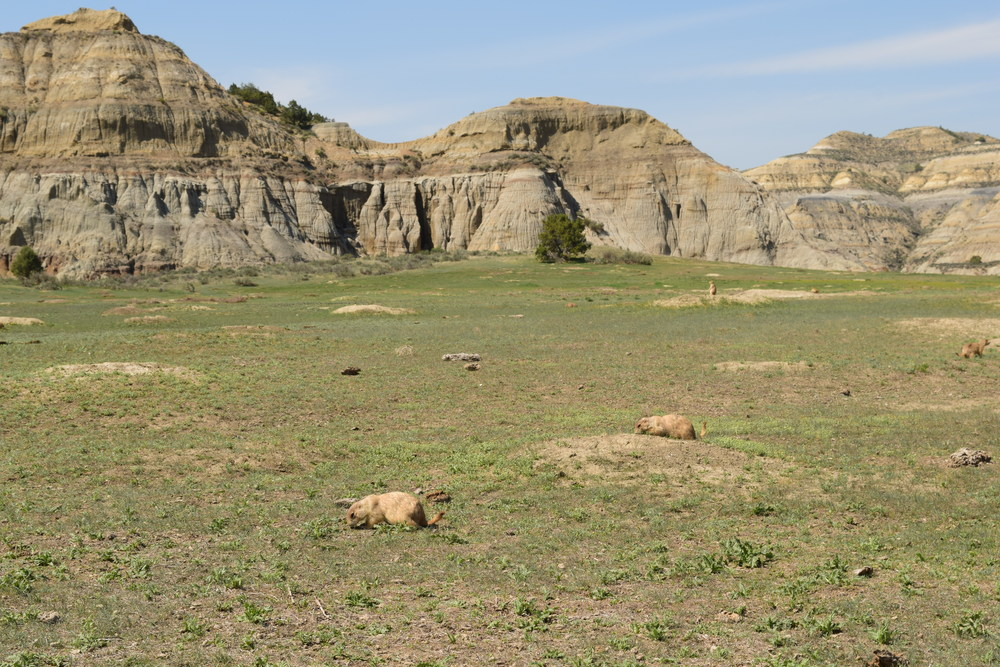 Black-tailed Prairie Dog Town