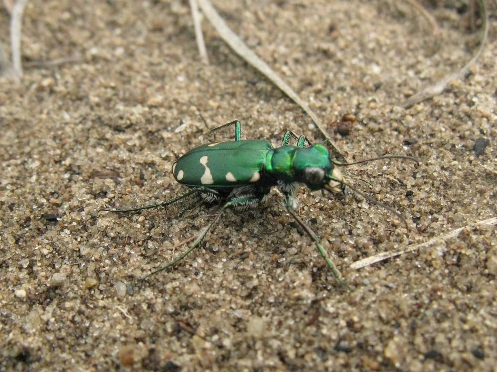 Typical green Northern Barrens Tiger Beetle ( Cicindela patruela ).