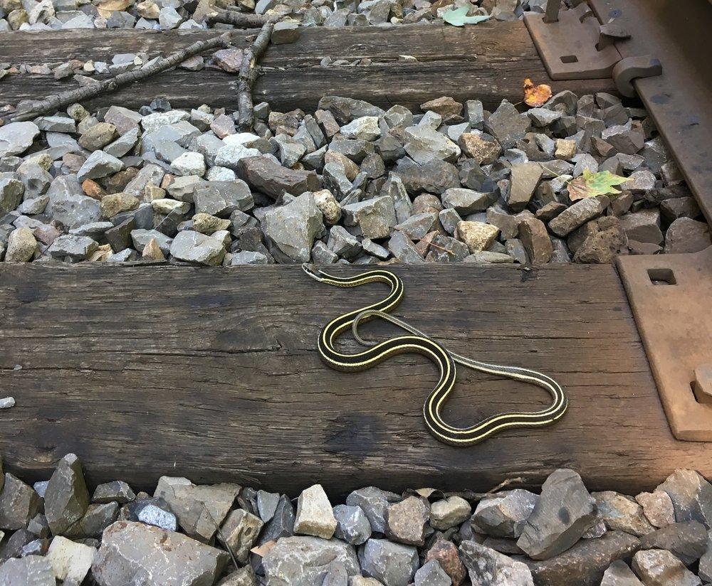 Eastern Ribbonsnake found along railroad tracks