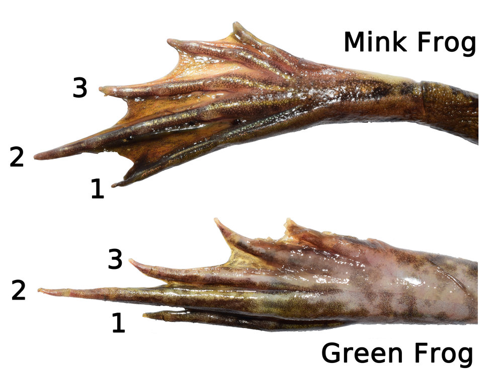 Figure 3. Comparison of a Mink Frog (top) and Green Frog (bottom) hind foot. Note the toe length of the 3rd toe compared to the 1st. Mink Frog from Sherburne County, Minnesota and Green Frog from Anoka County, Minnesota.