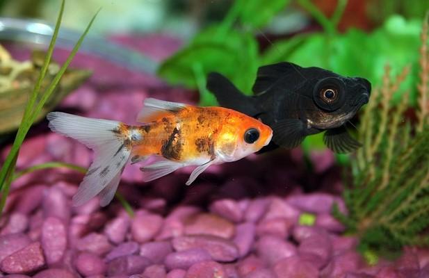 goldfisheduca