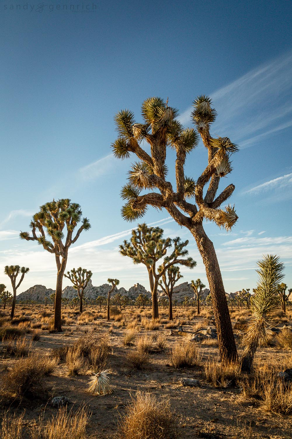 Among the Trees-Joshua Tree National Park-Twentynine Palms-CA-Ca