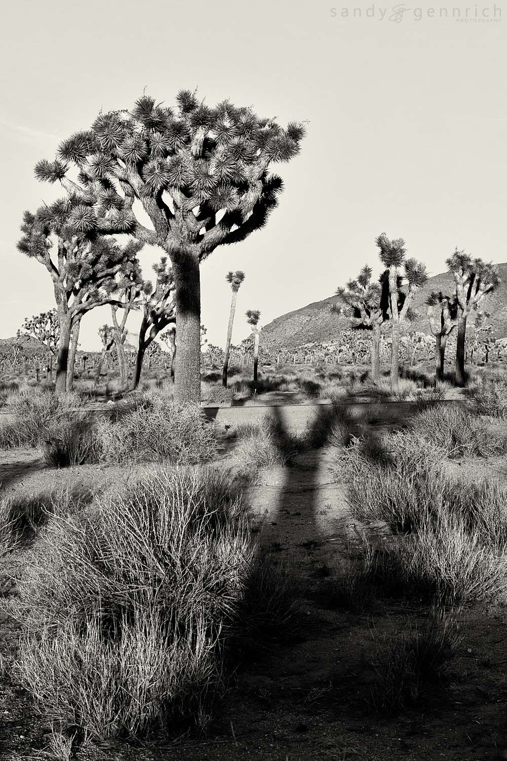 Shadow of the Lorax-Joshua Tree NP-Twentynine Palms-C