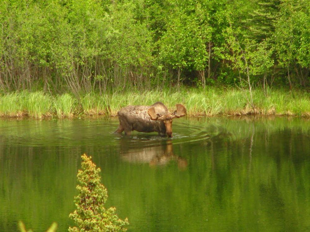 moose.jpg