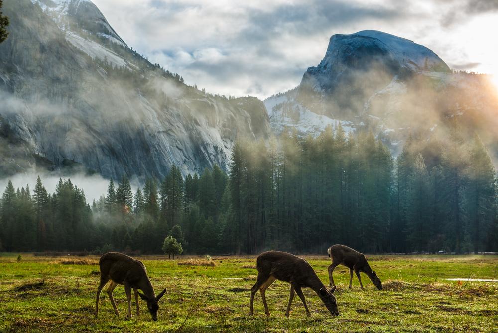 Mule deer grazing by Half Dome