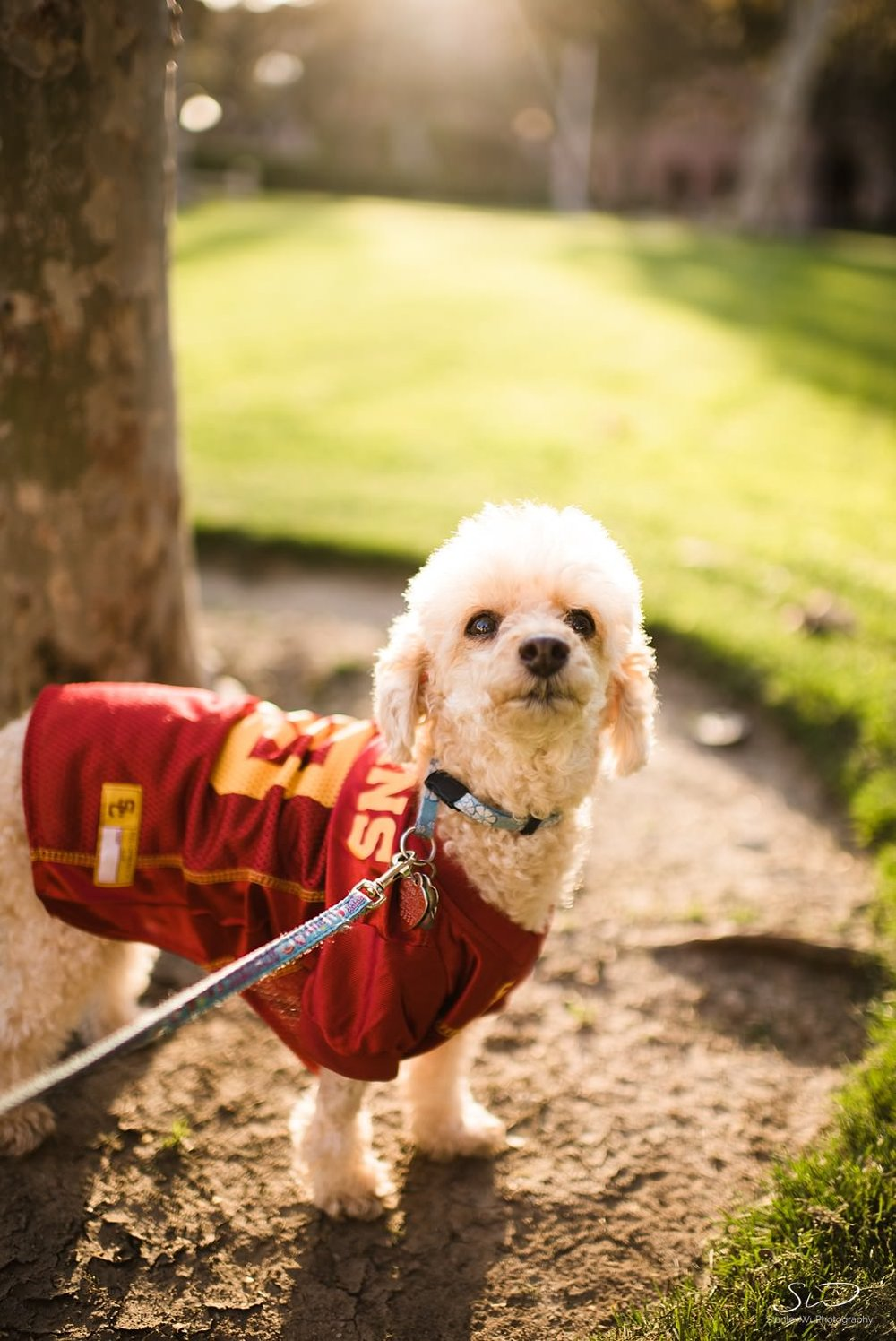 Portrait of a dog in collegiate apparel at USC | Los Angeles Orange County Senior Portrait & Wedding Photographer