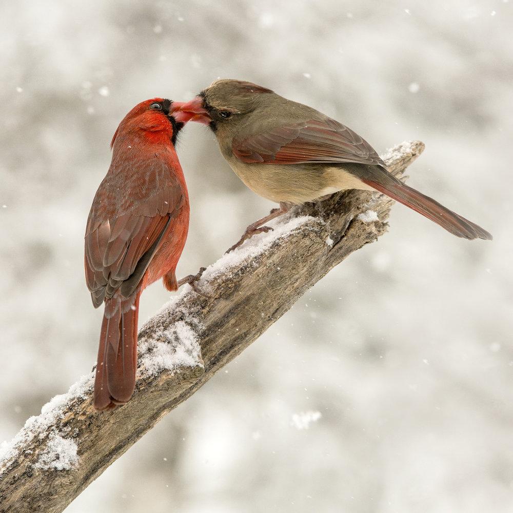 2_©JMacCausland_Cardinal Kiss_DSC_1826_72dpi_1920.jpg