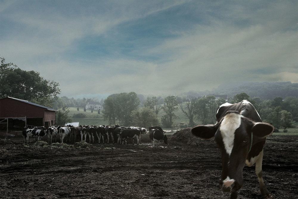 Old Herd