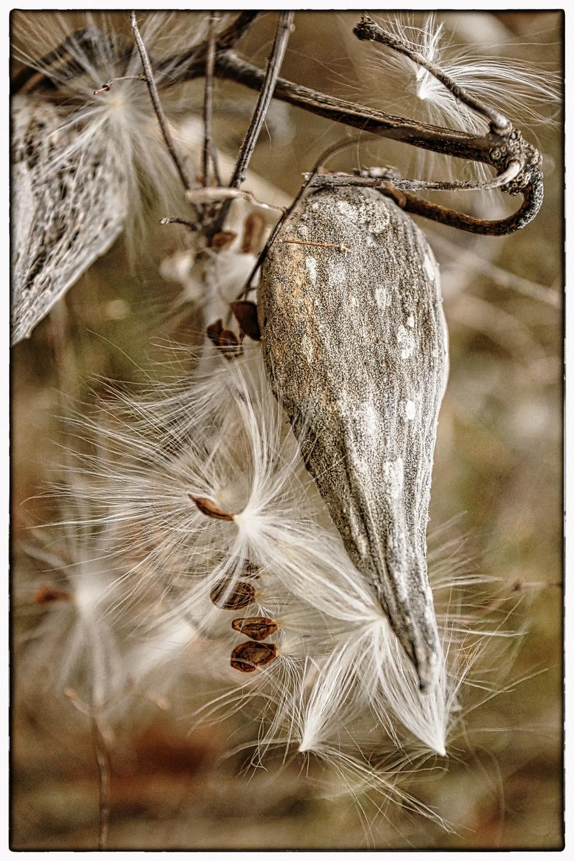 Milkweed-Pod-Closeup.jpg