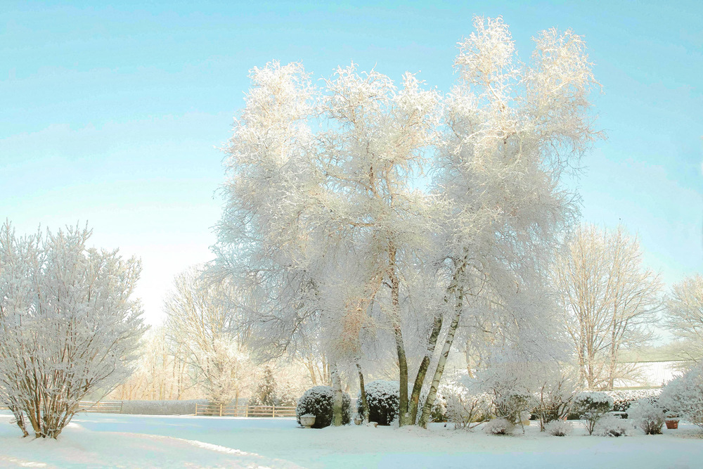 LAQ-SnowyBirchesFINAL.jpg