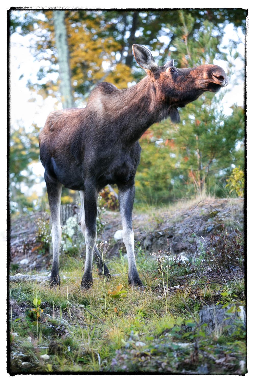 Moose-2a.jpg
