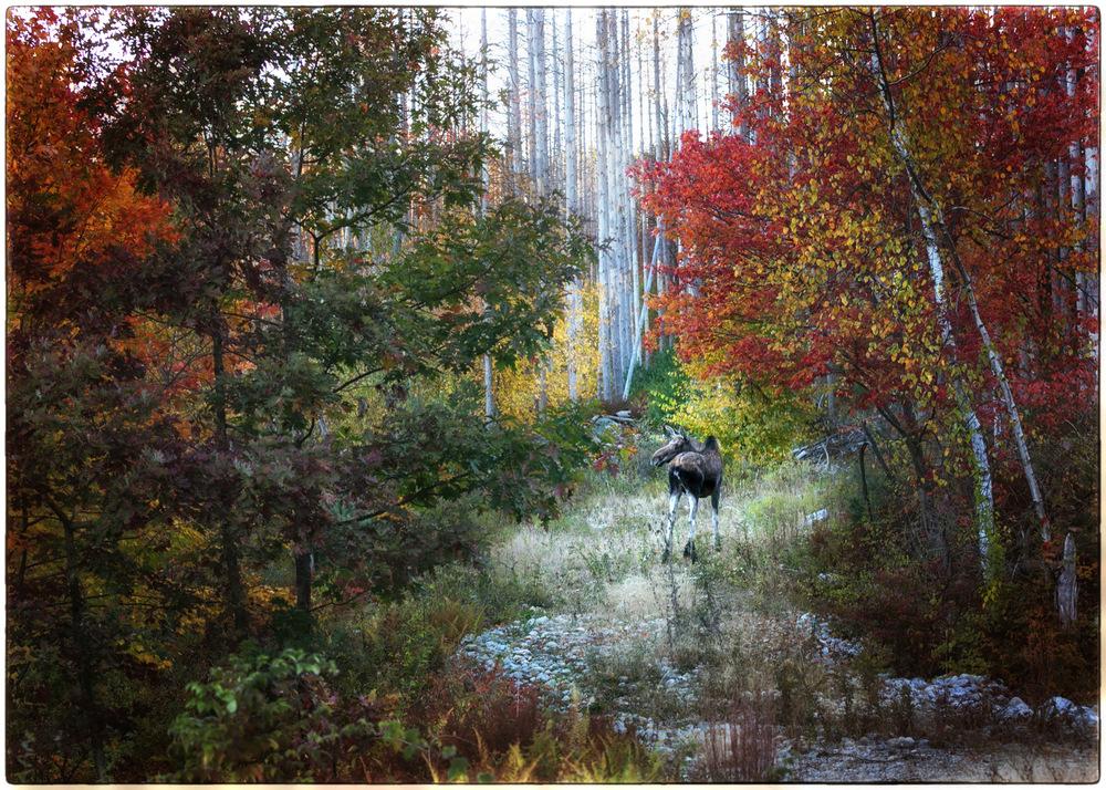 Moose-Grazing.jpg